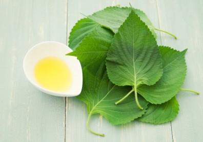 紫蘇葉能抗菌、抗病毒!搭配烏龍茶、生薑紅棗茶飲用好處多