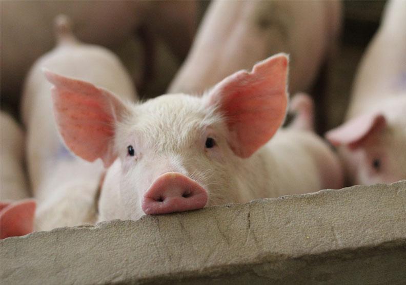 台灣出現首例人類感染新型豬流感!養豬戶5歲女童確診