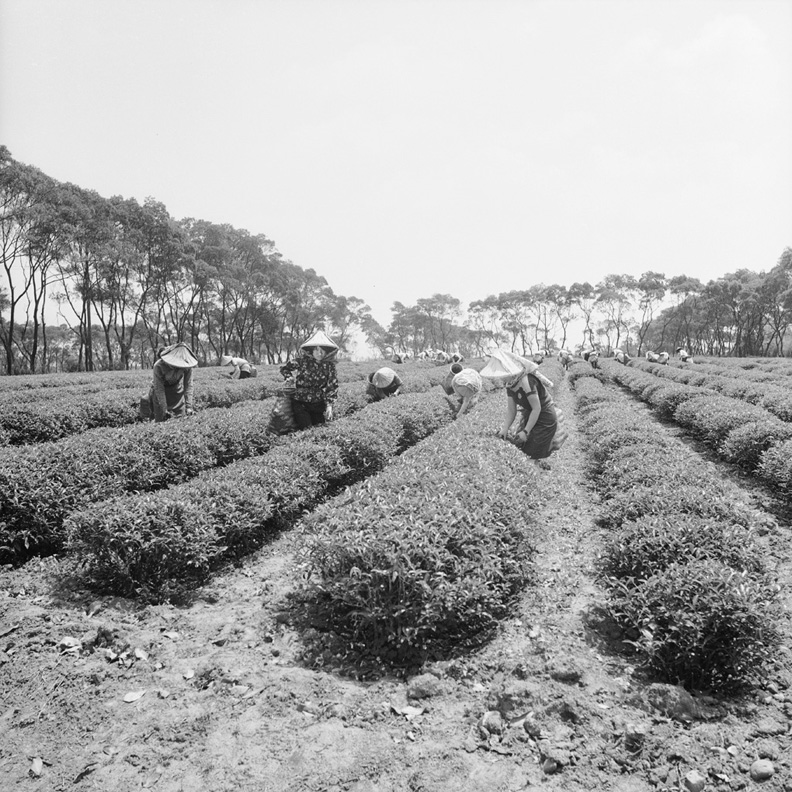 1960年代林口採茶剪影,高傳棋提供。