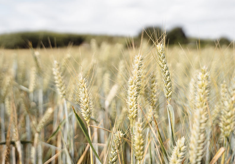 研究發現,持續不斷的氣候變化與乾旱,將影響全球60%的小麥產地產量,未來將可能引發糧食不足與飢荒。Pexels by Olga Lioncat