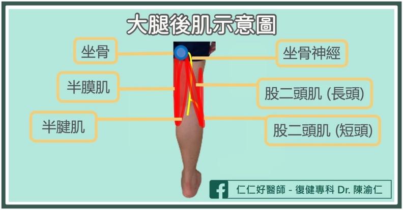 大腿後肌示意圖。陳渝仁醫師提供