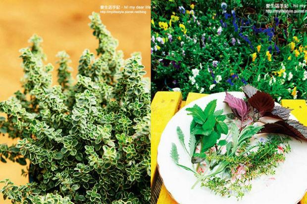 香草百科!冬天該種那些香草?