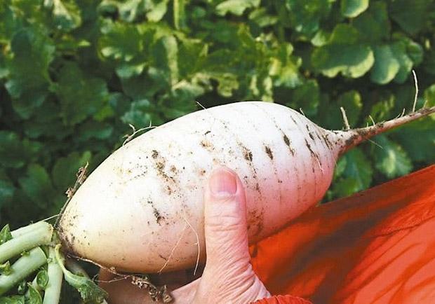又買到「空心」貨:談白蘿蔔