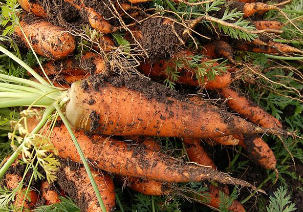 胡蘿蔔富含維生素,還是助降血壓的「小人蔘」
