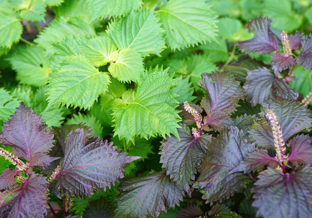 紫蘇鐵質為蔬菜之冠!「華陀的神奇草藥」有何妙用?