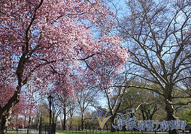 初春紐約的魅力!落櫻繽紛的中央公園
