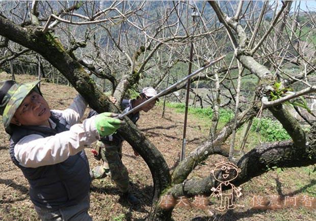 日本認證樹醫劉東啟:無毒樹木醫學發展果樹修剪與養護技術