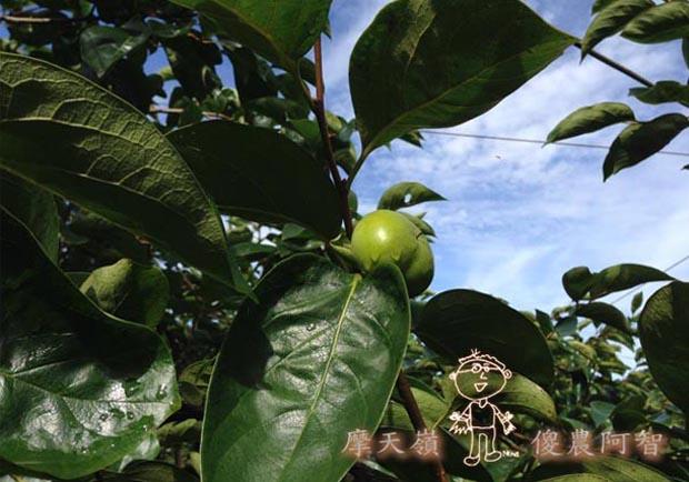 從科學的角度 解釋富有甜柿的生理落果現象與環刻的作用機制