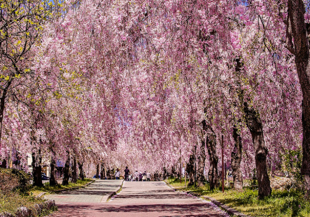東北十大賞櫻景點:喜多方枝垂櫻花瀑布隧道