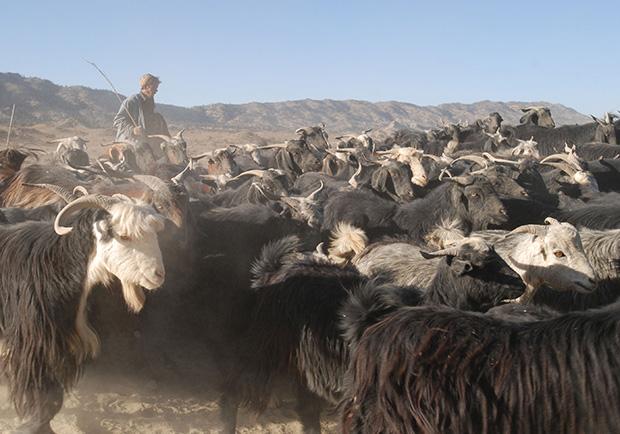 牧羊人與山羊