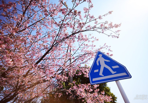 伊豆高原駅 櫻花紛飛的櫻並木隧道