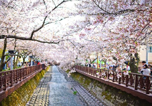鎮海軍港櫻花祭 韓國最浪漫的樱花海
