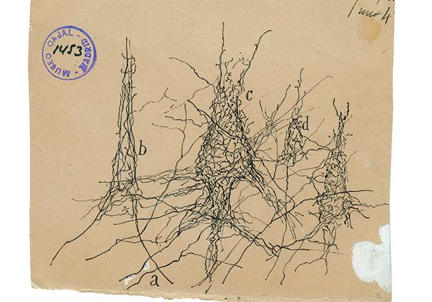 圍繞在一個月大嬰兒大腦內,錐狀神經元的周圍細胞網