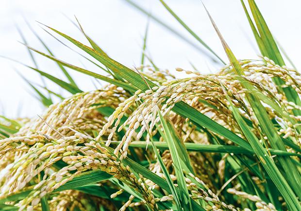 用人造衛星檢驗稻米的食味 日本超級公務員的努力