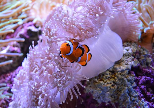 海底總動員搞錯啦!小丑魚的真正兩性關係動態