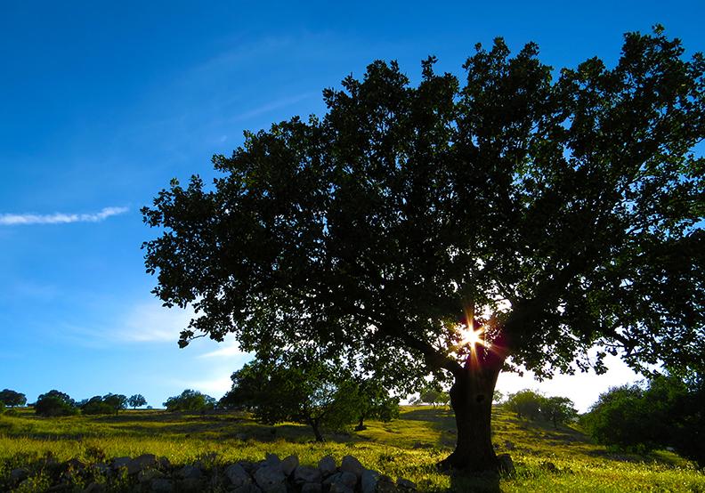 樹木像是一桶水 93至98%由水組成