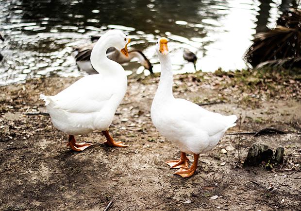 為什麼鴨子可以自在地走在結冰的湖面上呢?
