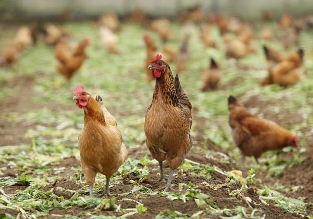 通通拿去做雞精!雞精製作過程全揭露