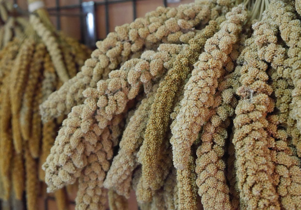 小米鹹性不含麩質,煮粥營養如參湯