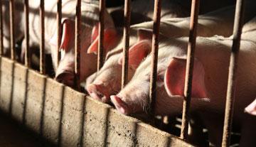非洲豬瘟疫情到底有多嚴重?
